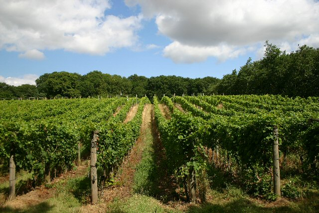 UK vineyard